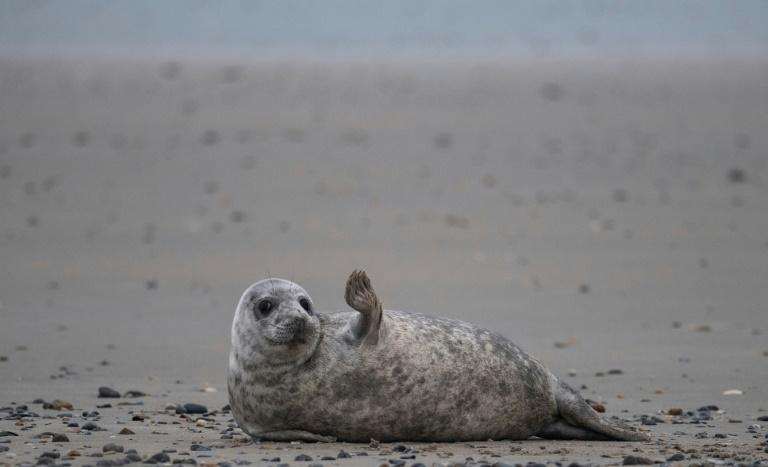 Grey seals come to Helgoland island in the North Sea to give birth (AFP Photo/John MACDOUGALL)