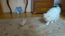 Snowflake, el gato, conoce a un nuevo amigo - ¡el cachorro robot!