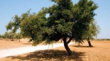 Marruecos plantará 50.000 árboles de argán de aquí a 2030