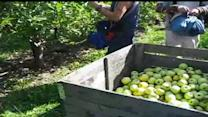 Farmers Expect Largest Apple Crop In U.S. History
