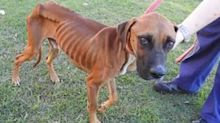Emaciated dog back to full health and looking for a home