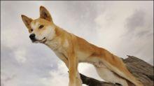 Vater rettet kleinen Sohn auf australischer Insel vor Dingo-Angriff