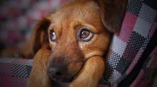 Passar horas no celular pode deixar seu cão deprimido, diz estudo