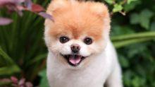 Adiós, Boo… Muere el que fue considerado 'el perro más bonito del mundo'