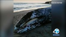 Dead gray whale washes up in Malibu
