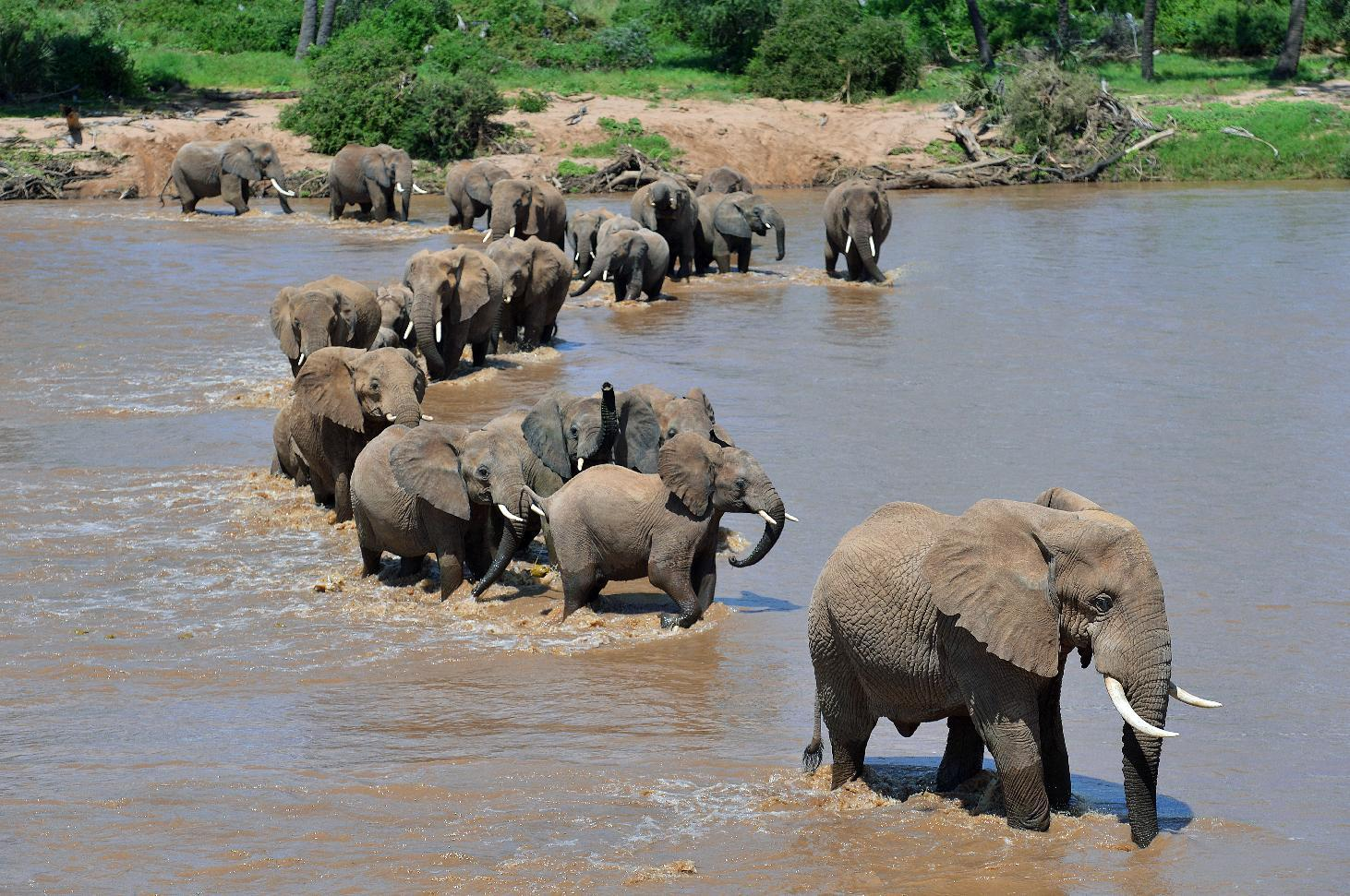 Elephants ford the Ewaso Nyiro river in Kenya's Samburu game reserve on May 8, 2013 (AFP Photo/Carl de Souza)