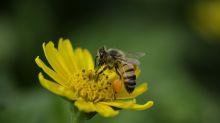 Lo que quizá no sabías sobre las abejas, la especie más valiosa del planeta