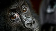 Extinction threatens some 60 percent of primates: study