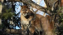 Moose Jaw police track, kill cougar after several sightings inside city