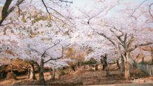 2020日本奈良櫻花好去處🌸若草山下、氷室神社、佐保川都有超美的櫻花海