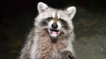 Rabid Raccoon Bites Jogger Who Then Drowns It in Puddle