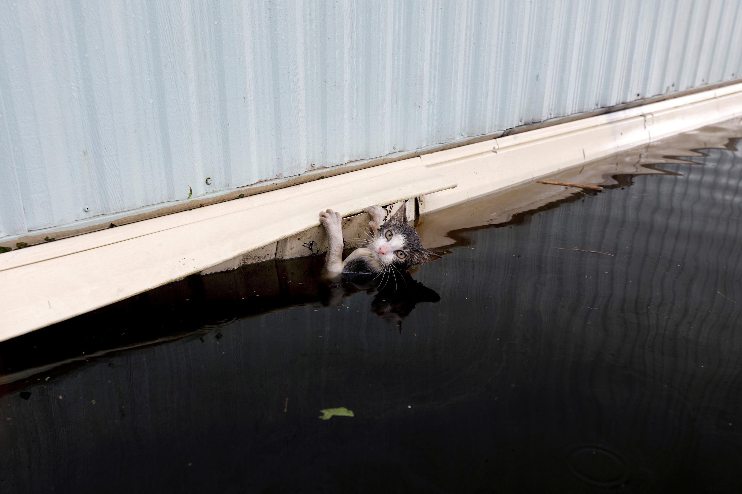 A cat clings to the side of a trailer amidst flood waters before it was saved as the Northeast Cape Fear River breaks its banks in the aftermath Hurricane Florence in Burgaw, North Carolina, U.S., September 17, 2018. REUTERS/Jonathan Drake TPX IMAGES OF THE DAY