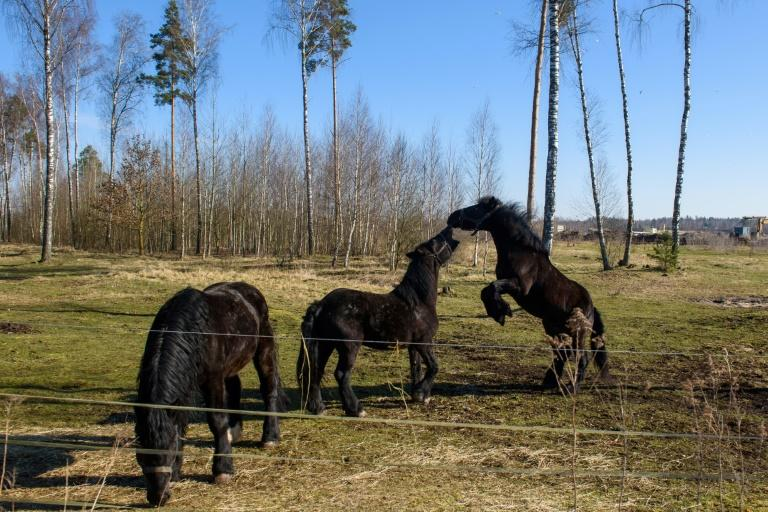 Circus horses enjoy their temporary enclosure outside Latvia's capital Riga where the animals from a trapped Czech circus have been staying thanks to generous locals