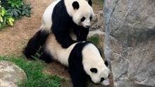 Giant pandas Ying Ying and Le Le mate for the first time at Hong Kong's Ocean Park
