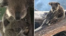 Koala and joey found huddled in bushfire to be released into wild