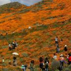 California poppies: City declares public safety crisis after 'super bloom apocalypse'