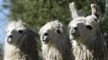 Coronavirus: 'Breakthrough' study suggests engineered llama antibodies neutralise Covid-19