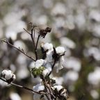DHS blocks cotton imports from major Chinese firm over forced labor