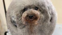 Sesame, el poodle que causa furor por su look de esfera perfecta