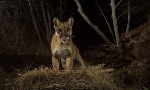'I couldn't prise its jaws open': the woman who fought a mountain lion to save her dog