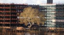 Tree of the week: 'This poplar is like a chameleon. If it's cut down it will be a big loss'