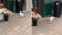 Seagull shoplifts from the same store every day
