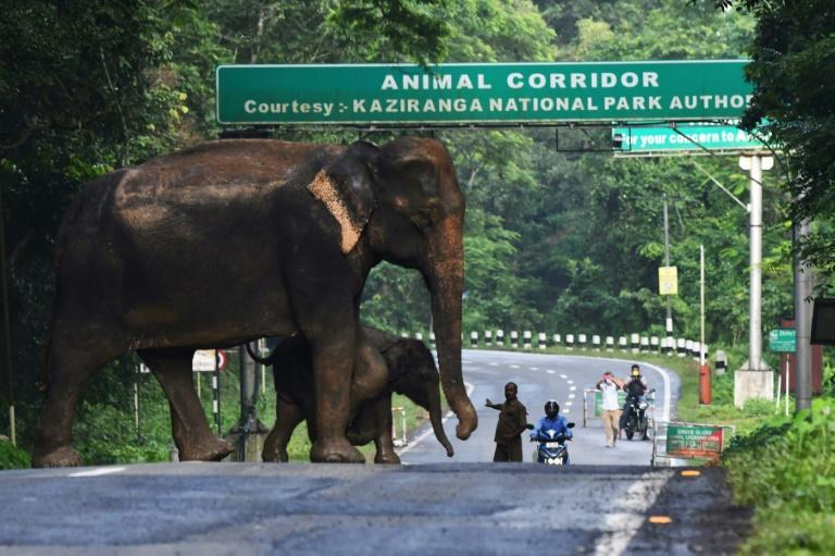 A wild elephant and a calf cross a National Highway at the flood-affected Kaziranga National Park in India's northeast state of Assam (AFP Photo/-)