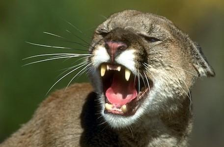 Mountain Lion: It's called a developer preview for a reason