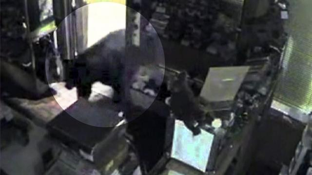 Black bear carefully breaks into candy store