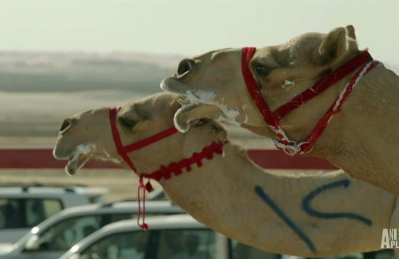 Appearance Of Camels In Genesis Called Sign Of Authors