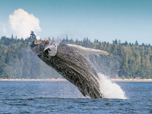Southwest Atlantic humpback whales bounce back from brink of extinction