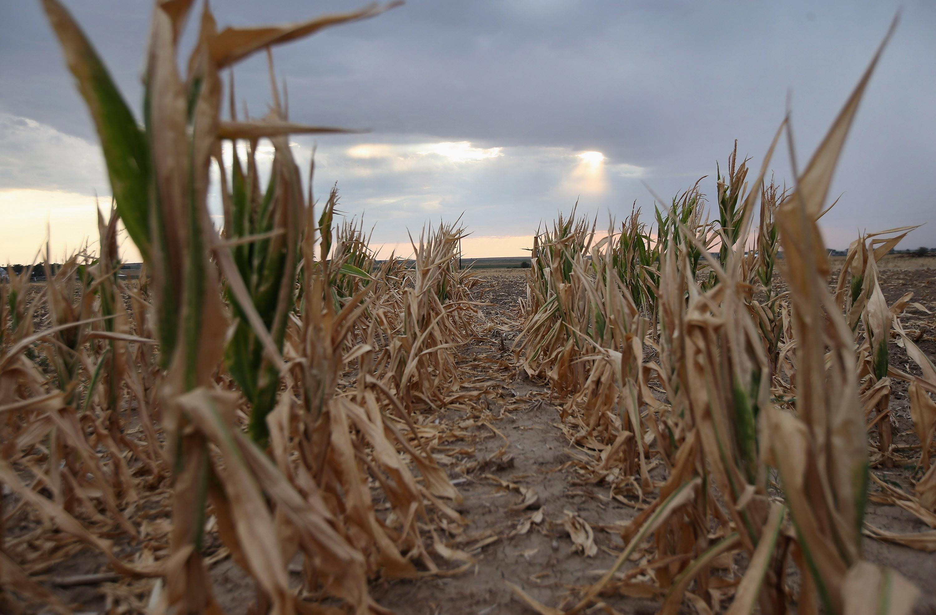In the American Midwest the biggest threat to food security is drought (AFP Photo/John Moore)
