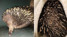 What caused this echidna's horrific bushfire injuries