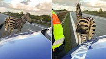 Zebra shot dead after escaping circus and causing car crash on motorway