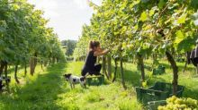 English vineyards introduce new grapes due to global heating