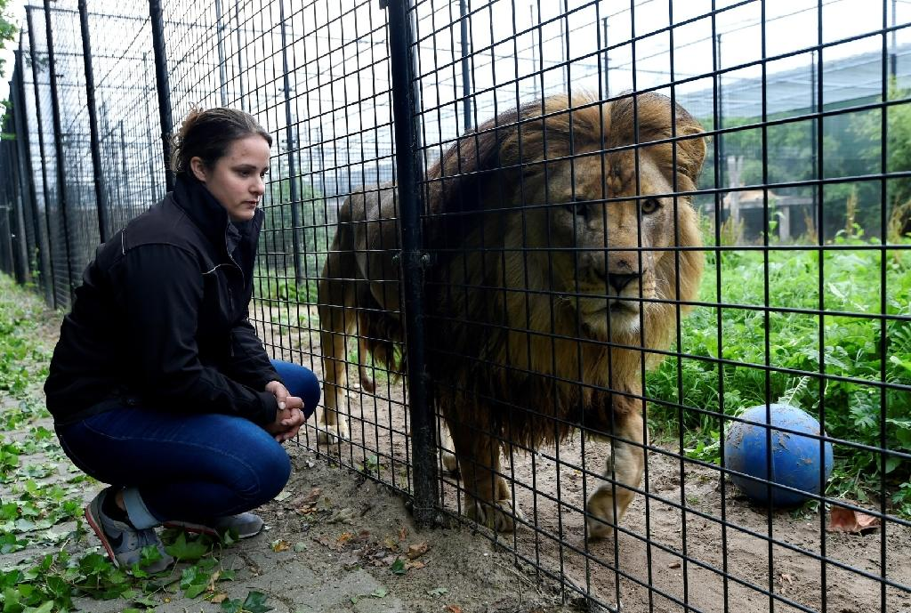 Established in 2011 by a passionate businessman, the Stichting Leeuw (Lion Foundation) refuge in The Netherlands is looking after 35 wild cats (AFP Photo/)