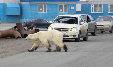 飢餓北極熊跑進城 40年首見