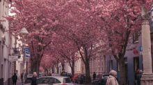 德國櫻花小鎮遊客太多 居民威脅破壞櫻花換取安寧