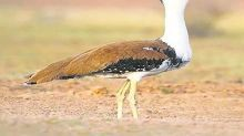Big boost for India's wildlife conservation! Great Indian Bustard, Asian Elephant get international protection; See pics