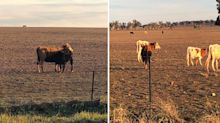 Harrowing story behind photos of starving cattle on drought-stricken land