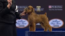 Brussels Griffon wins Best in Show at National Dog Show