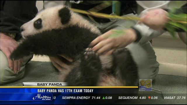 Baby panda has 17th exam at San Diego Zoo