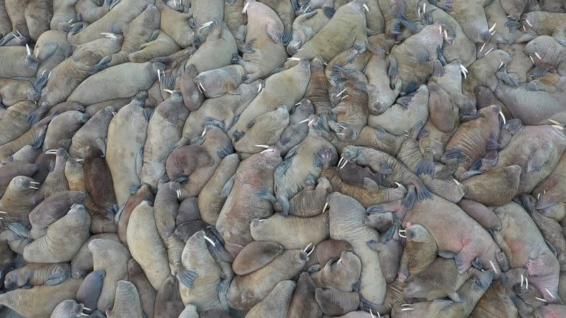 Russian scientists discover huge walrus haulout in Arctic circle