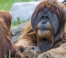 Covid-19: San Diego zoo apes given experimental vaccine
