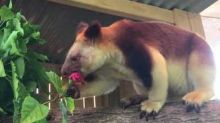 Australian Reptile Park Welcomes First Tree-Kangaroo