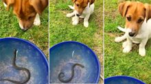 Adorable video shows snake catcher teaching puppy to stay away from snakes