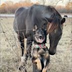 German Shepherd and horse have the most perfect photoshoot