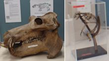 Hippo skull, dog skeleton stolen from uni