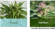 RKDA: Arcadia Biosciences is Well Funded for Management's 2021 Growth Initiatives in GoodWheat & GoodHemp; Also a Review of 2020 Achievements