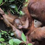 Baby orangutan born in Indonesia boosts numbers of the critically endangered species